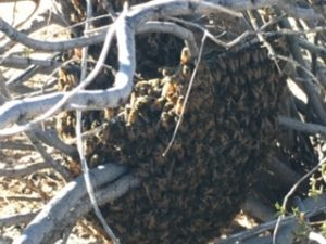 swarm in creosote